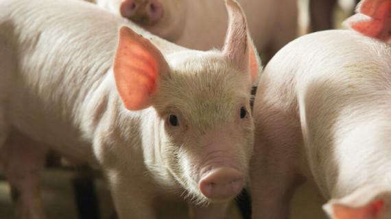Храненето при свободно пасищно отглеждане на свинете, подобрява качеството на месото.